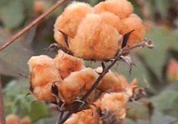 Conheça nosso algodão colorido